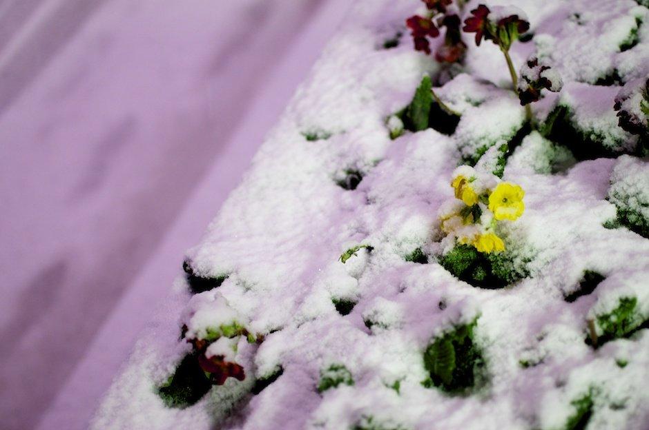 Flower poking through snow, Allerton Road, Liverpool