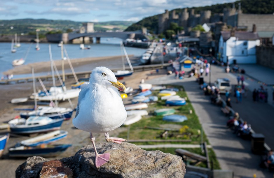 One legged seagull with Conwy Castle in background - Conwy, North Wales